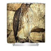 Red-tailed Hawk 5 Shower Curtain