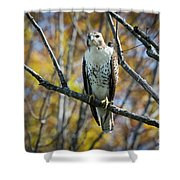 Red-tailed Hawk In The Fall Shower Curtain