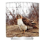 Red Tailed Hawk In The Field Shower Curtain