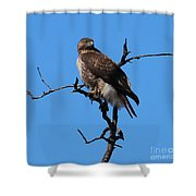Red Tailed Hawk Shower Curtain by Kathy DesJardins