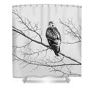 Red-tailed Hawk On Perch Shower Curtain