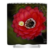 Red Torch Cactus-echinopsis  Shower Curtain