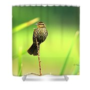Red Winged Blackbird Female Shower Curtain