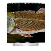Redfish Study  Shower Curtain