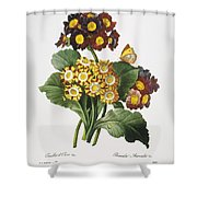 Redoute: Auricula, 1833 Shower Curtain