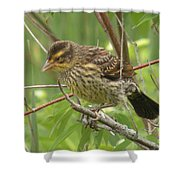 Redwing Blackbird - Immature Shower Curtain
