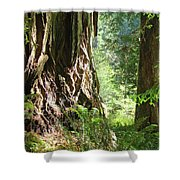Redwood Tree Art Prints Redwoods Forest Shower Curtain