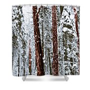 Redwoods In Snow Shower Curtain