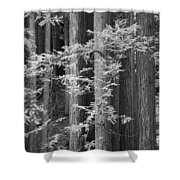 Redwoods Ir 0625 Shower Curtain