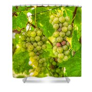 Riesling Harvest II Shower Curtain