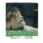 Relaxing Lion With A Thick Black Fur Mane Shower Curtain