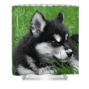 Resting Alusky Puppy Laying In Green Grass Shower Curtain