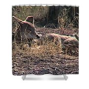Resting Coyote Shower Curtain
