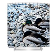 Resting Ducks Shower Curtain