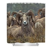 Resting Rams Shower Curtain