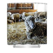 Resting Sheep Shower Curtain