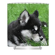 Resting Two Month Old Alusky Puppy Dog In Grass Shower Curtain