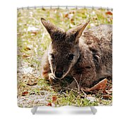 Resting Wallaby Shower Curtain