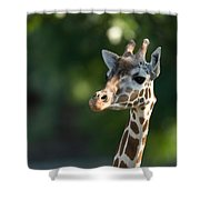 Reticulated Giraffe At The Omaha Zoo Shower Curtain