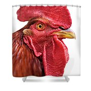 Rhode Island Red Rooster Isolated On White Shower Curtain