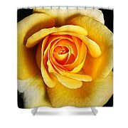 Rich And Dreamy Yellow Rose   Shower Curtain