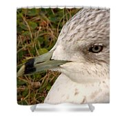Ring Billed Gull Profile Shower Curtain