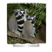 Ring-tailed Lemurs Shower Curtain