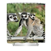 Ring Tailed Lemurs With Baby Shower Curtain