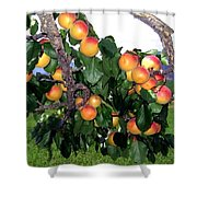 Ripe Apricots Shower Curtain