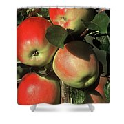 Ripening Apples Shower Curtain