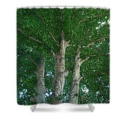 River Birches Shower Curtain