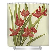 River Lily Or Crimson Flag Shower Curtain