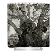 River Red Gum Shower Curtain