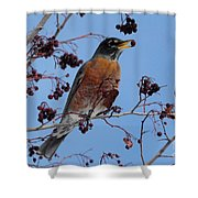 Robin Eating A Red Berry Shower Curtain