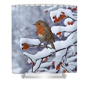 Robin On Snow-covered Rose Hips Shower Curtain