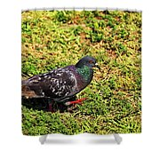 Rock Pigeon Shower Curtain