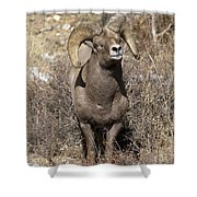 Rocky Mountain Big Horn Sheep Shower Curtain