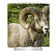 Rocky Mountain Bighorn Sheep Shower Curtain