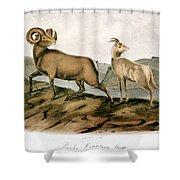 Rocky Mountain Sheep, 1846 Shower Curtain