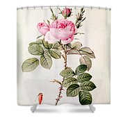 Rosa Bifera Officinalis Shower Curtain by Pierre Joseph Redoute