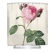 Rosa Centifolia Shower Curtain