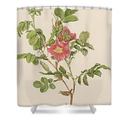 Rosa Cinnamomea The Cinnamon Rose Shower Curtain