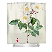 Rosa Damascena Subalba Shower Curtain