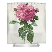 Rosa Gallica Flore Giganteo Shower Curtain by Pierre Joseph Redoute