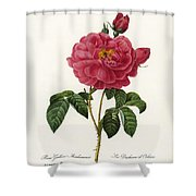 Rosa Gallica Shower Curtain
