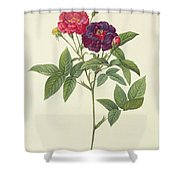 Rosa Gallica Purpurea Velutina Shower Curtain