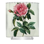 Rosa Gallica Regalis Shower Curtain