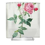 Rosa Indica Shower Curtain