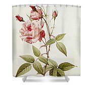 Rosa Indica Vulgaris Shower Curtain by Pierre Joseph Redoute