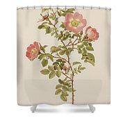 Rosa Involuta Var Wilsoni Shower Curtain